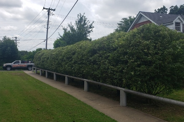 A line of very large pruned shrubs with a Riverview Turfworks work truck in the far background.