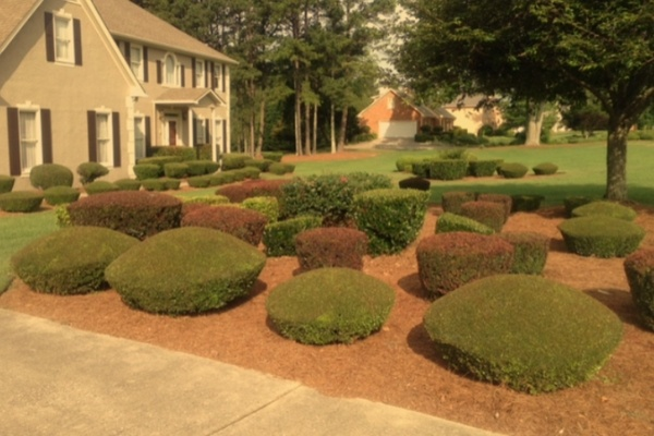 A very large landscape bed filled with numerous freshly pruned shrubs.